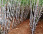 Variedade de cana-de-açúcar do projeto (foto divulgação)
